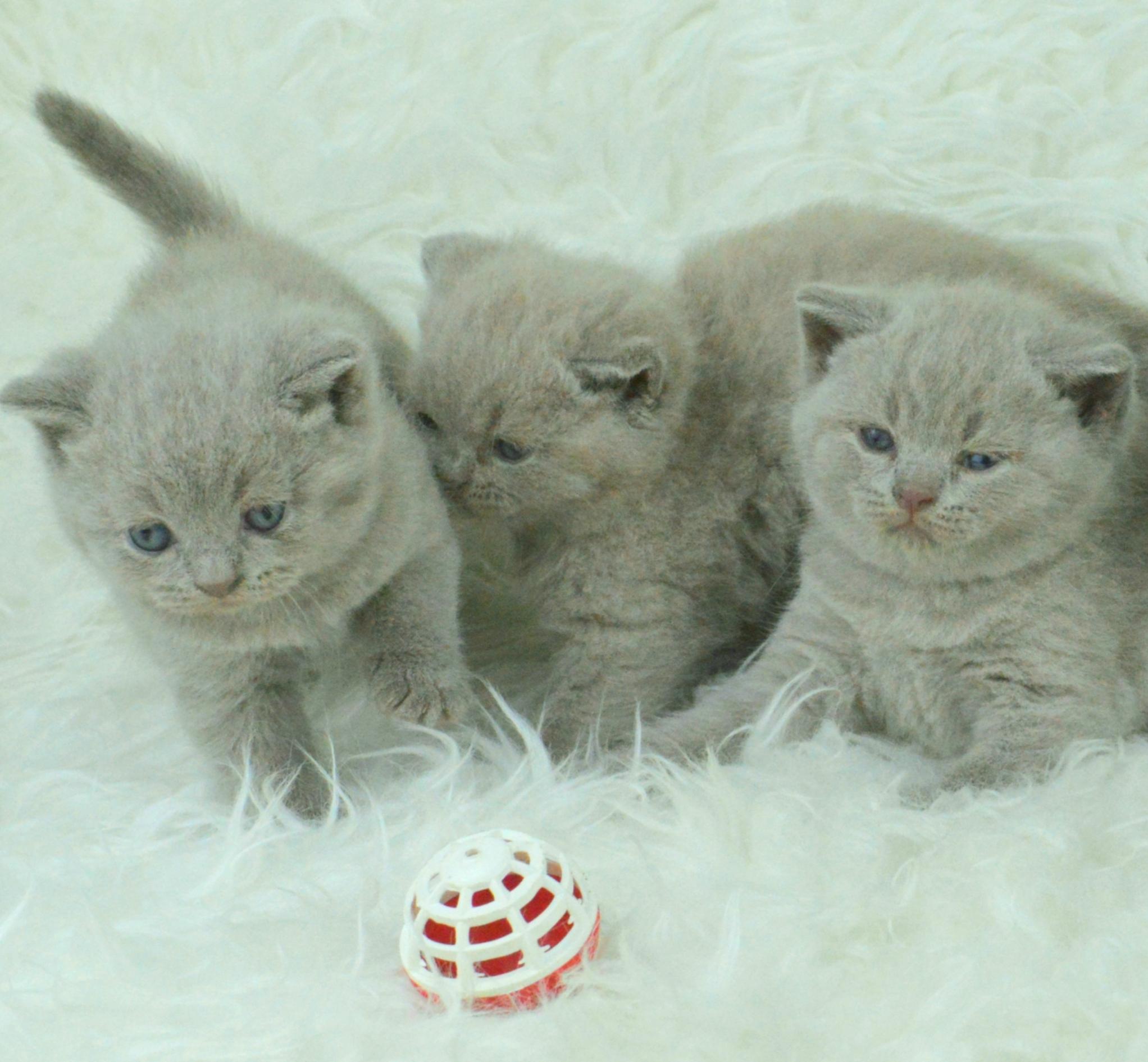 Sekilas Tentang Warna Bulu Kucing British Shorthair Buitenzorg Cattery